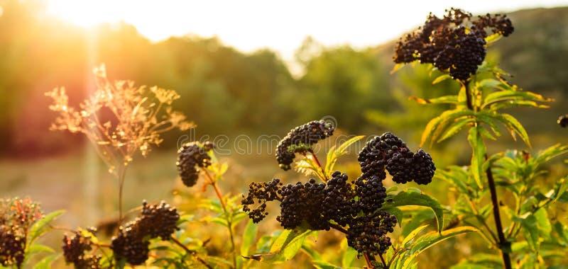 Baya del saúco negra de la fruta de los racimos en jardín en nigra del Sambucus de la luz del sol anciano, anciano negra, fondo e imagenes de archivo