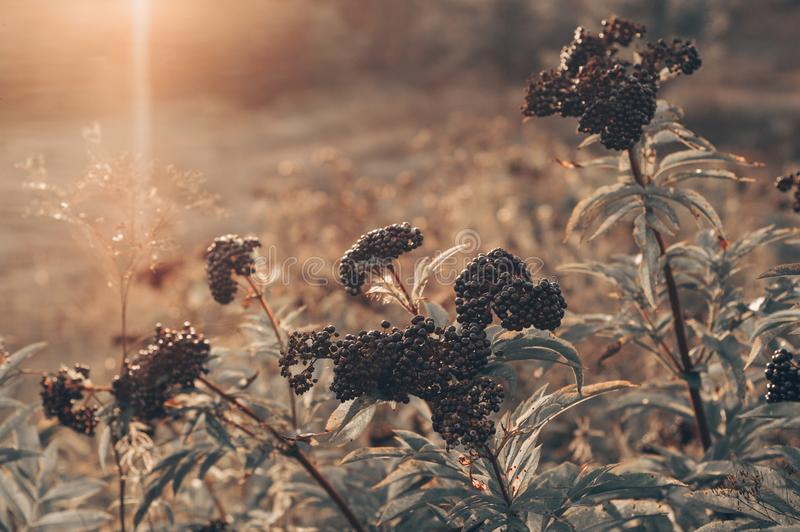 Baya del saúco negra de la fruta de los racimos en jardín en nigra del Sambucus de la luz del sol anciano, anciano negra, fondo e foto de archivo libre de regalías