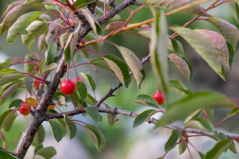Baya madura de la cereza Un pozo real de vitaminas imagen de archivo