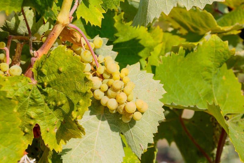 Baya no madura Manojo de uvas verdes inmaduras Uvas verdes frescas en la vid en luz del sol Uvas no todavía maduras que crecen en foto de archivo libre de regalías