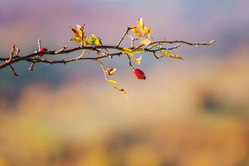 Baya roja del briar en la rama contra fondo del otoño fotos de archivo