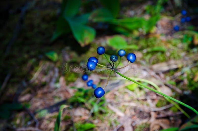 Baya soleada del azul del bosque fotografía de archivo