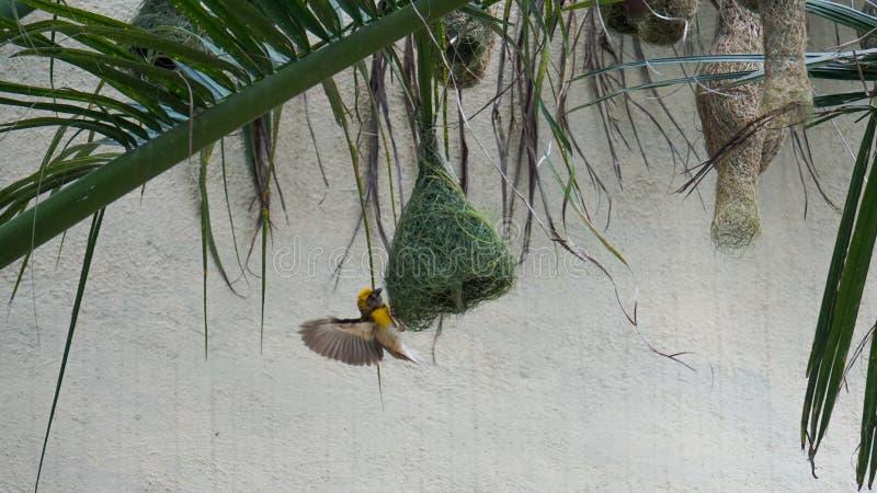 Baya Weaver Bird royalty-vrije stock afbeeldingen