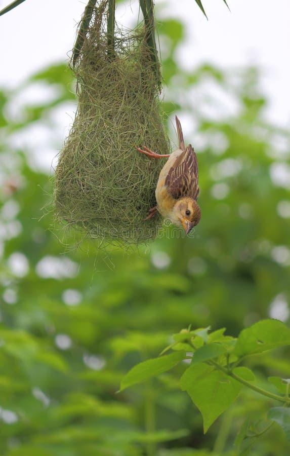 Baya Weaver Bird arkivbilder