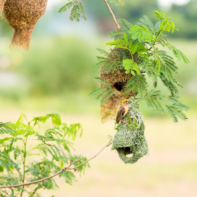 Baya weaver bird on nest stock image