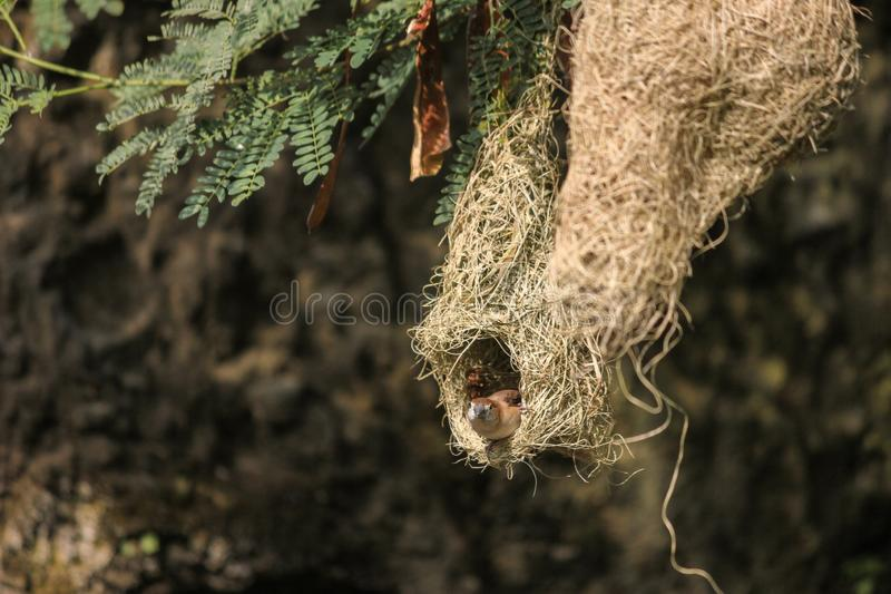 Baya weaver female peeping out of its nest starting at the camera to safegaurd the chicks/eggs from predators. Cute little nest hanging in the tree with a rock royalty free stock photos
