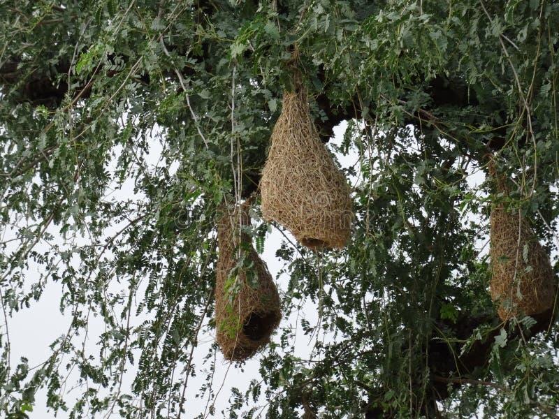Baya Weaver Nests sull'albero fotografie stock libere da diritti