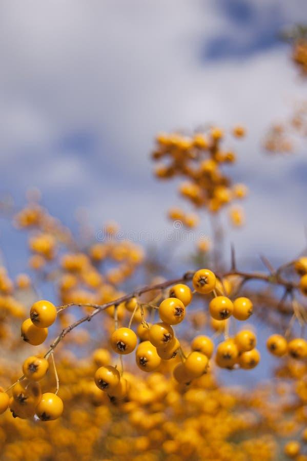 Bayas amarillas del otoño fotografía de archivo