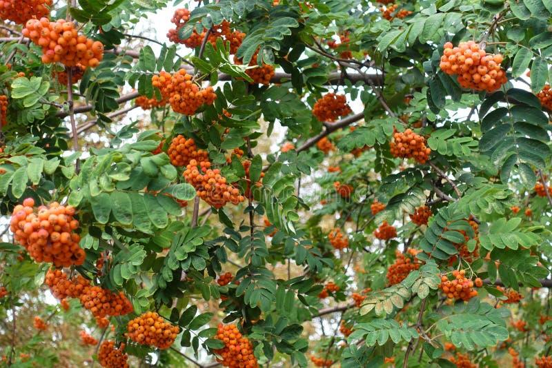 Bayas anaranjadas brillantes en ramas del serbal fotografía de archivo