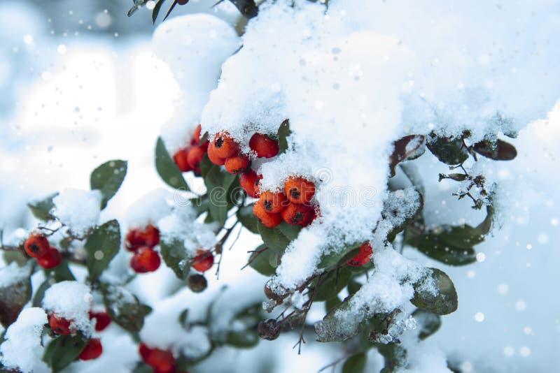Bayas anaranjadas debajo de la nieve Arbusto congelado en el invierno imagen de archivo