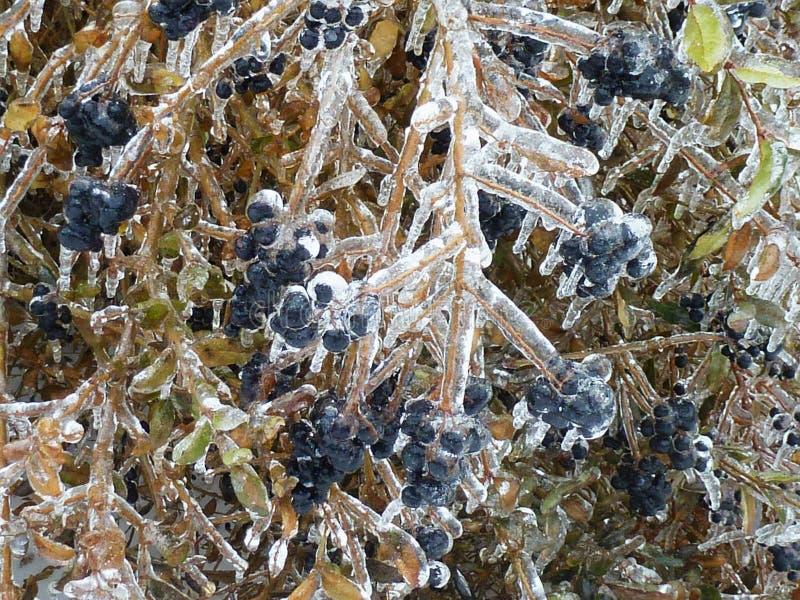 Bayas azules y hojas y ramitas verdes debajo del hielo grueso imágenes de archivo libres de regalías