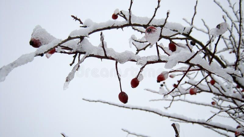 Bayas bajo nieve imagenes de archivo