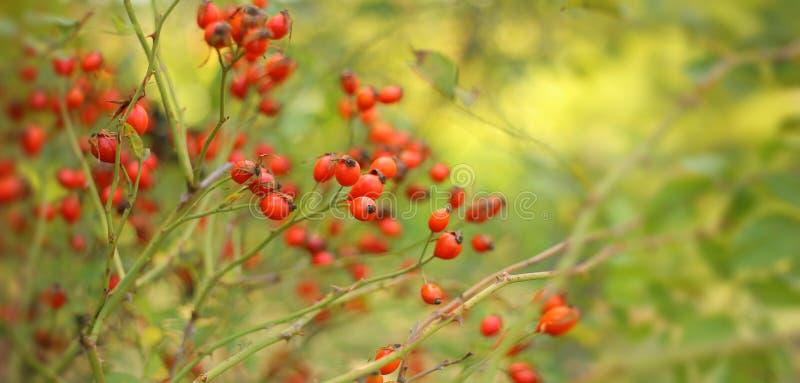 Bayas de cadera madura y roja en una rama En el jardín a principios de otoño sobre un fondo verde y amarillo borroso de la natura imagen de archivo libre de regalías