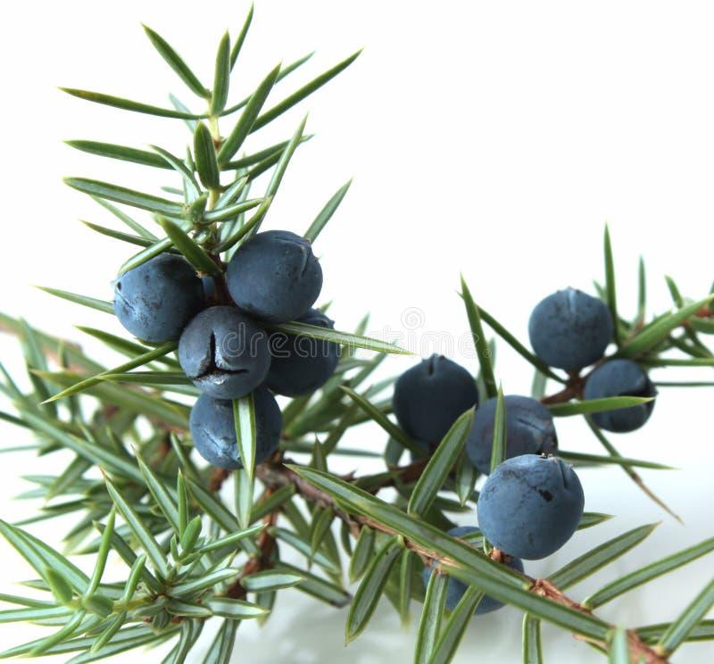 Bayas de enebro (Juniperus communis). fotos de archivo libres de regalías