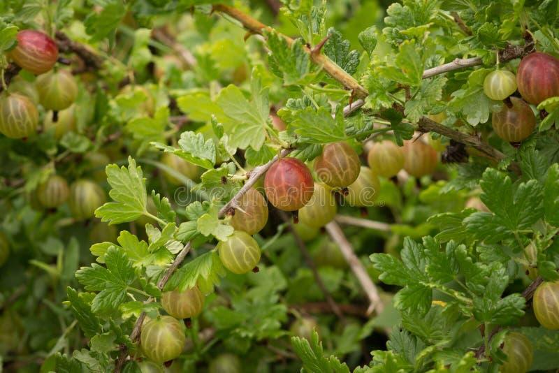 Bayas de grosellas espinosas rojas en una rama imagen de archivo