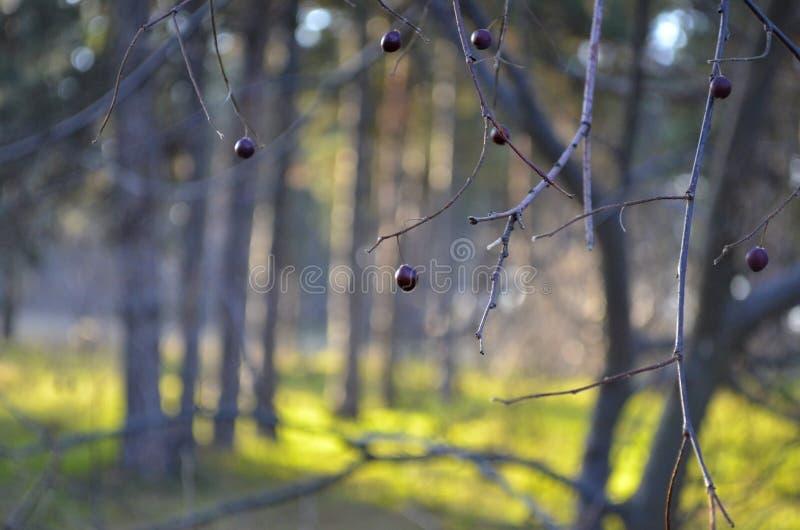 Bayas de la cereza negra en las ramas imagen de archivo libre de regalías