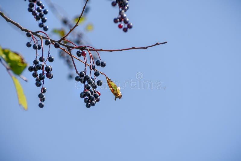 Bayas de la cereza negra en una rama contra un cielo azul imagenes de archivo