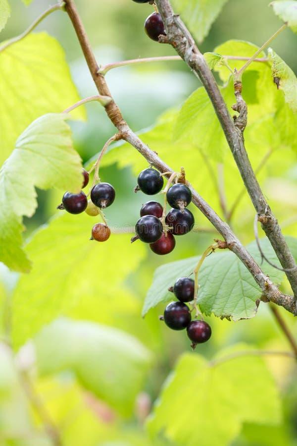 Bayas de la grosella negra en un arbusto en el jardín Grosella negra en un primer de la rama fotos de archivo libres de regalías