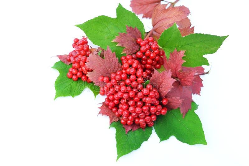 bayas de la Guelder-rosa con las hojas en un fondo blanco fotografía de archivo