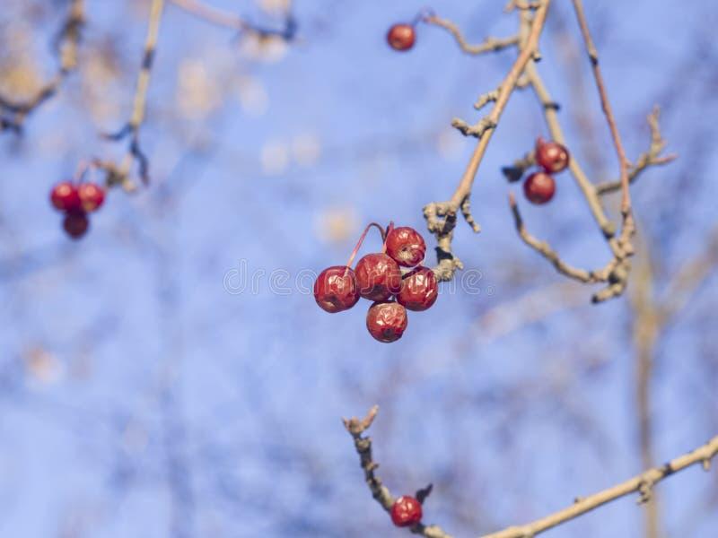 Bayas de serbal rojas brillantes congeladas en las ramas macras con el fondo del bokeh contra el cielo azul, foco selectivo, DOF  imagen de archivo