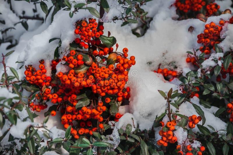 Bayas de serbal rojas brillantes y hojas verdes fotos de archivo