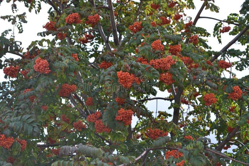 bayas de serbal rojo-anaranjadas imagen de archivo libre de regalías