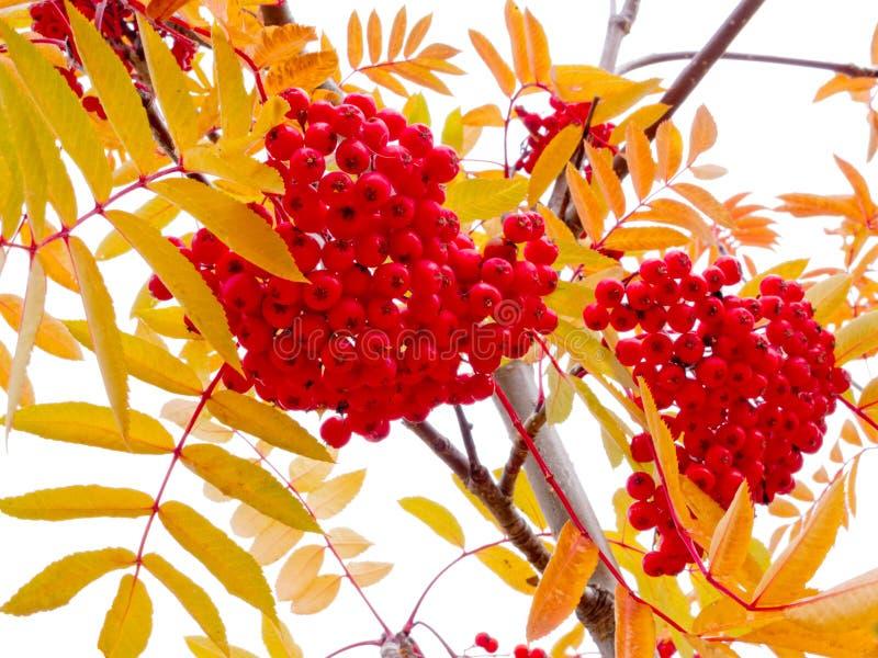 Bayas del árbol de ceniza de montaña y hojas rojas del amarillo foto de archivo libre de regalías