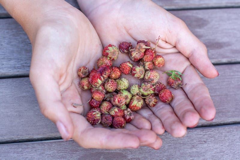Bayas del campo de la fresa que detienen a la muchacha Foco selectivo foto de archivo