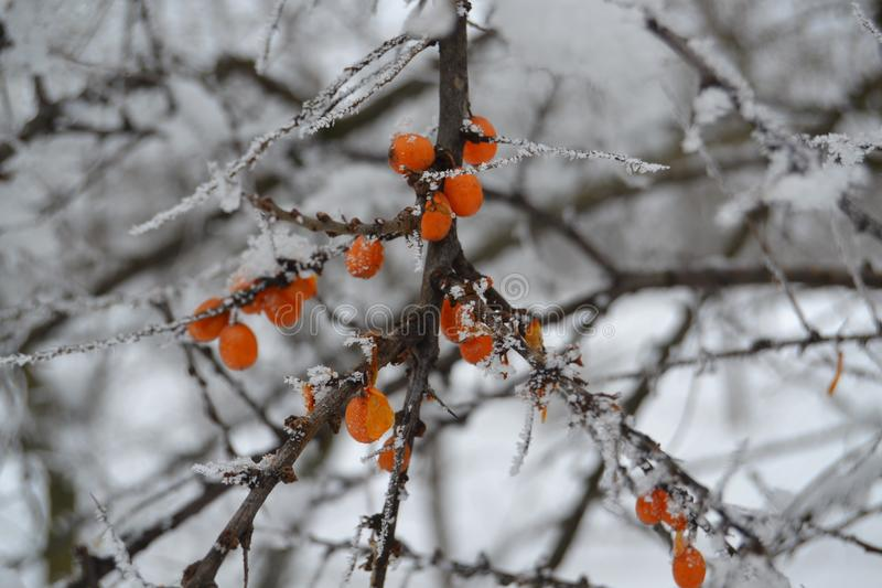 Bayas del espino cerval de mar en una rama en invierno foto de archivo