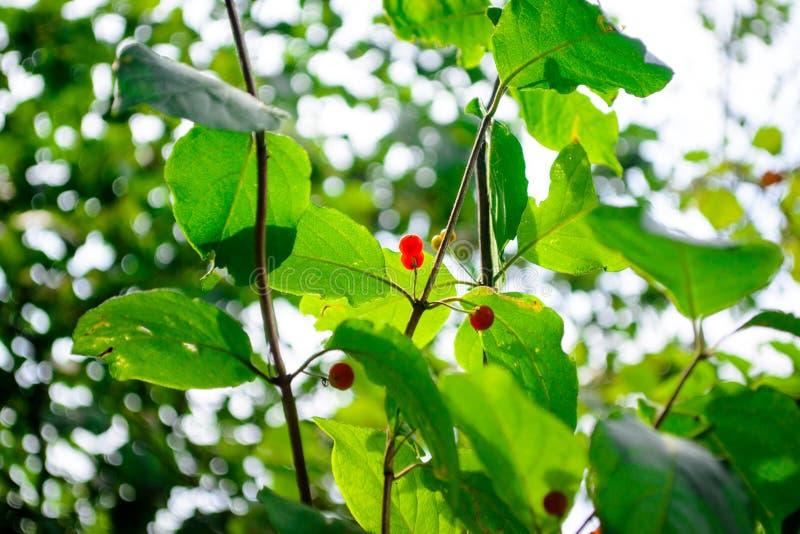 Bayas en un arbusto verde Wolfberry Bayas venenosas fotografía de archivo libre de regalías