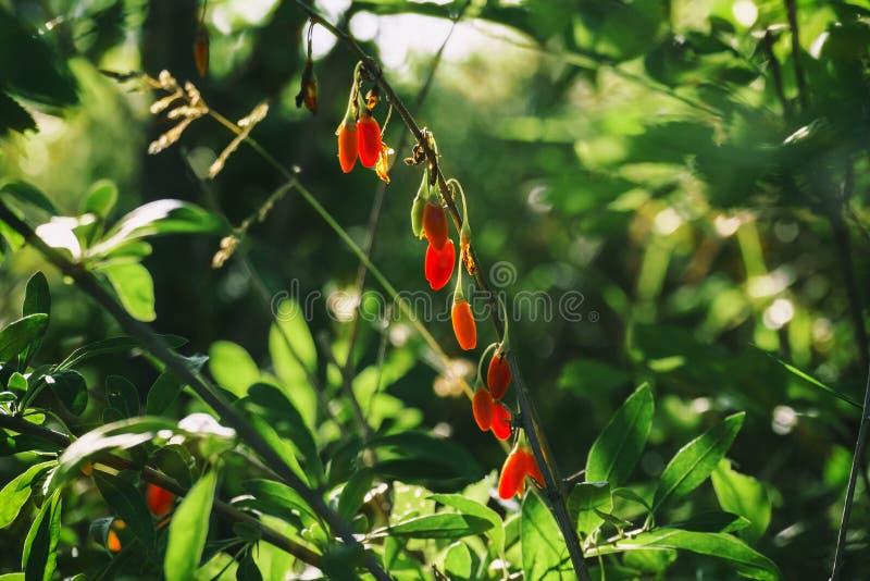 Bayas frescas del goji en follaje verde foto de archivo