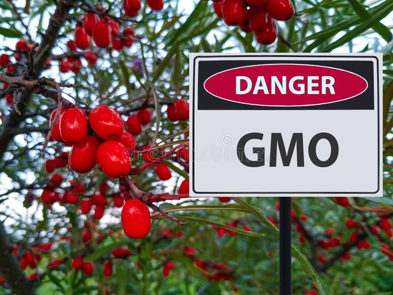 Bayas genético modificadas y una muestra del peligro de los GMOs fotografía de archivo