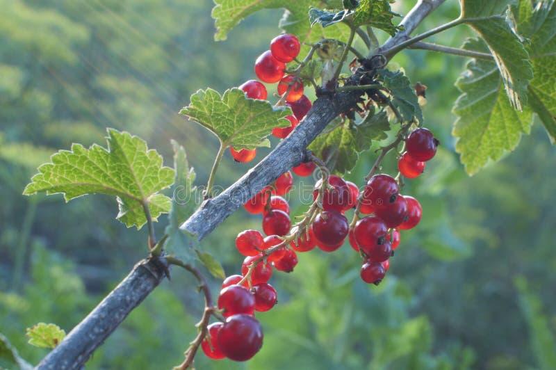 Bayas maduras de la pasa roja en el sol de la tarde foto de archivo