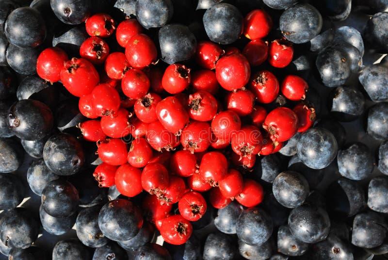 Bayas maduras fondo del endrino azul y espino del Crataegus, quickthorn, thornapple, árbol de mayo, hawberry en forma del corazón imagen de archivo