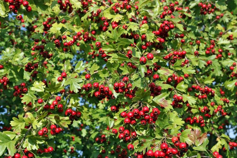 Bayas maduras rojas del espino del otoño en las ramas foto de archivo