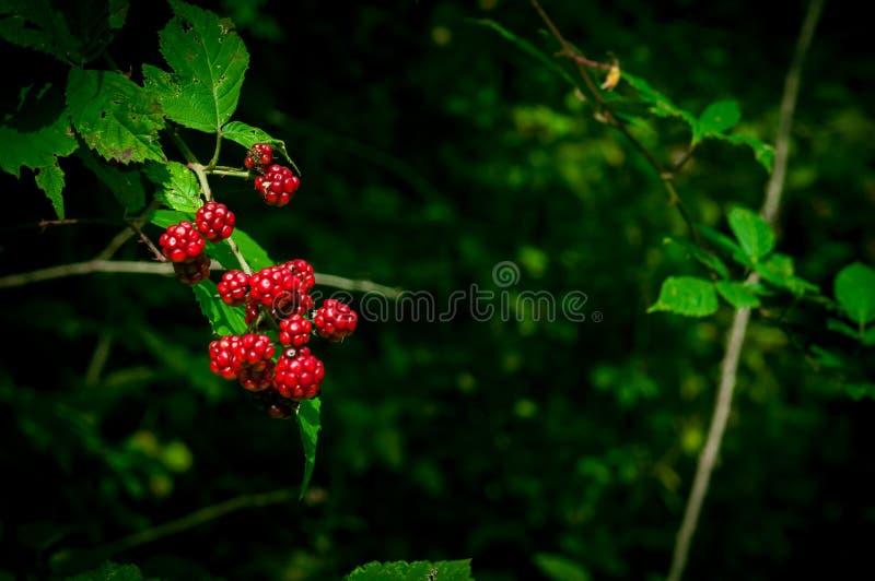 Bayas negras y rojas salvajes que crecen en el arbusto debajo del sol de Azerbaijan Frutas de la zarzamora Frutas del bosque del  foto de archivo libre de regalías