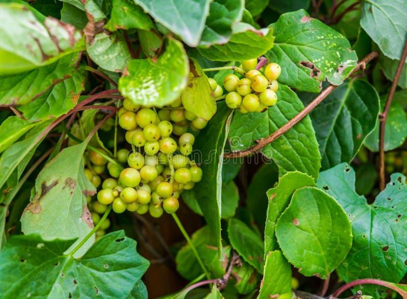 Bayas no todavía maduras, verdes de la vid china de la magnolia fotos de archivo libres de regalías