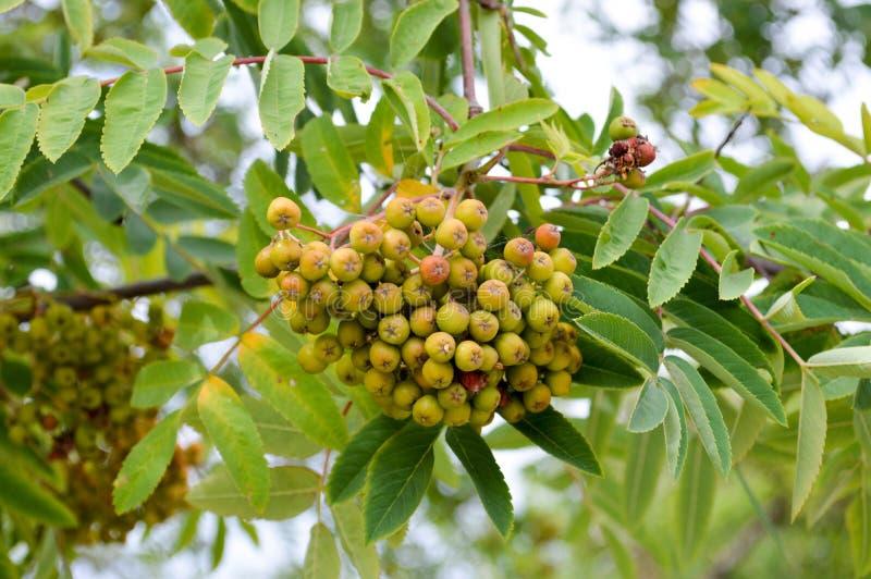 Bayas redondas inmaduras amargas naturales verdes hermosas de la ceniza de montaña en una rama de un árbol de serbal con las hoja foto de archivo libre de regalías