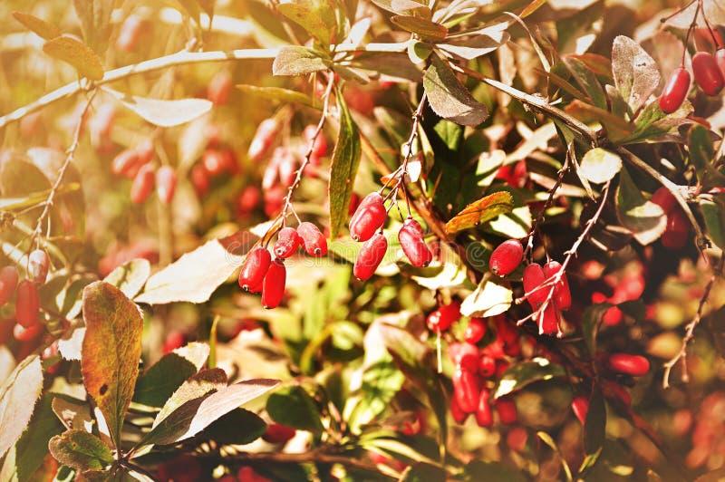 Bayas rojas brillantes del bérbero - en el berberis latino en el árbol bajo luz soleada fotos de archivo libres de regalías