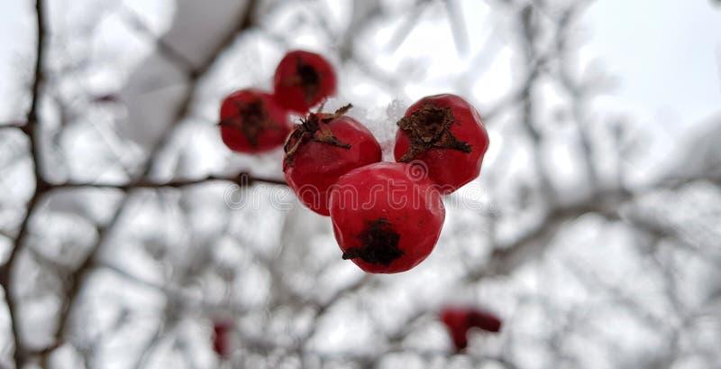 Bayas rojas brillantes del espino cubiertas con la nieve blanca en una calle nevosa del pueblo en un día de invierno escarchado imagenes de archivo