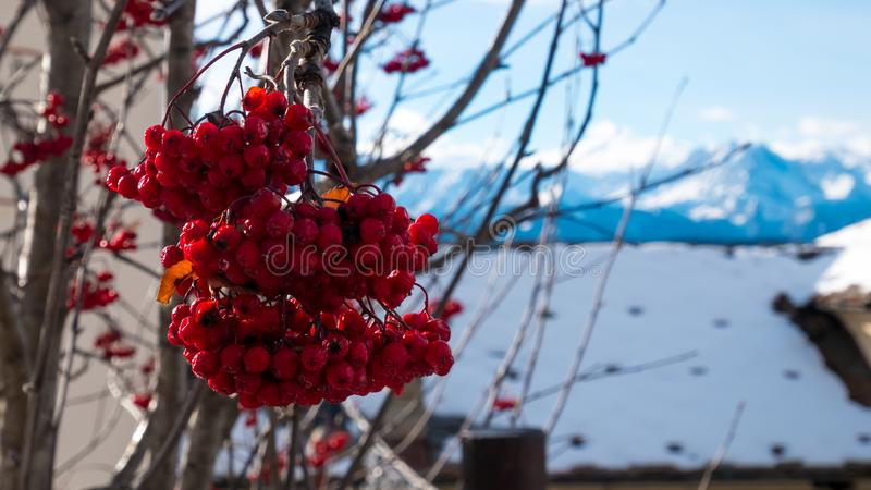 Bayas rojas con el fondo nevoso imagen de archivo