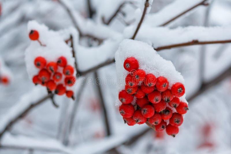 Bayas rojas de la ceniza de montaña cubiertas con nieve en el parque fotografía de archivo libre de regalías