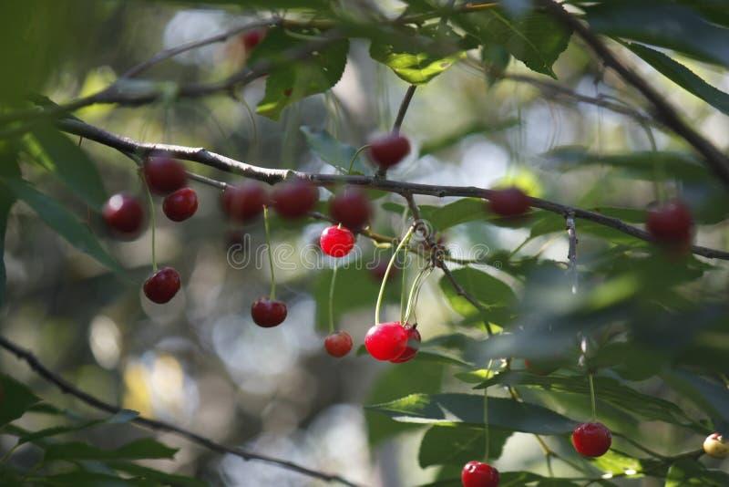 Bayas rojas de la cereza en una rama en un jardín en un fondo borroso de hojas verdes, foco selectivo, primer fotografía de archivo libre de regalías