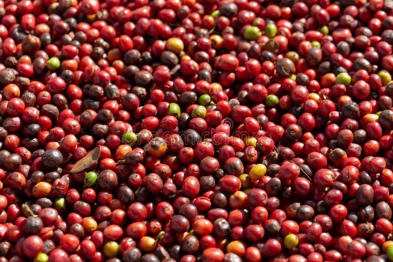 Bayas rojas de los granos de café del Arabica fresco y proceso de sequedad imágenes de archivo libres de regalías