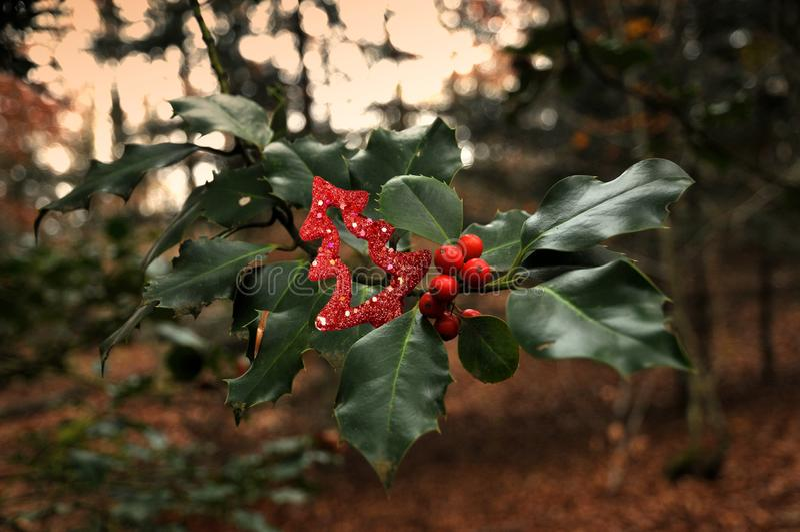 Bayas rojas del acebo en el bosque fotografía de archivo