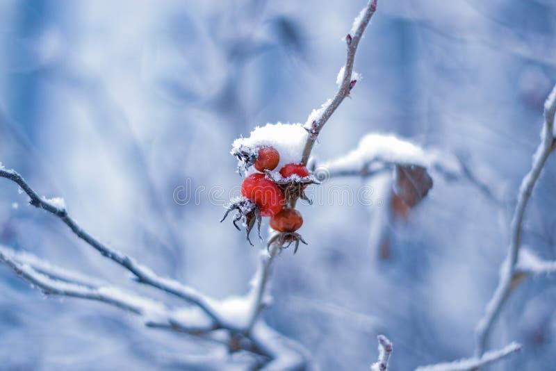 Bayas rojas del escaramujo en el fondo azul foto de archivo libre de regalías
