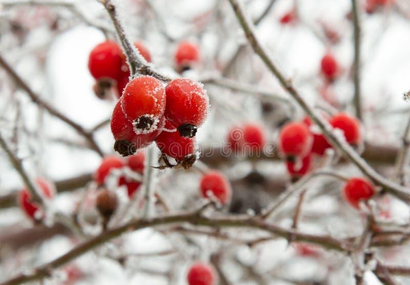Bayas rojas del escaramujo en primer de la helada del invierno fotografía de archivo libre de regalías
