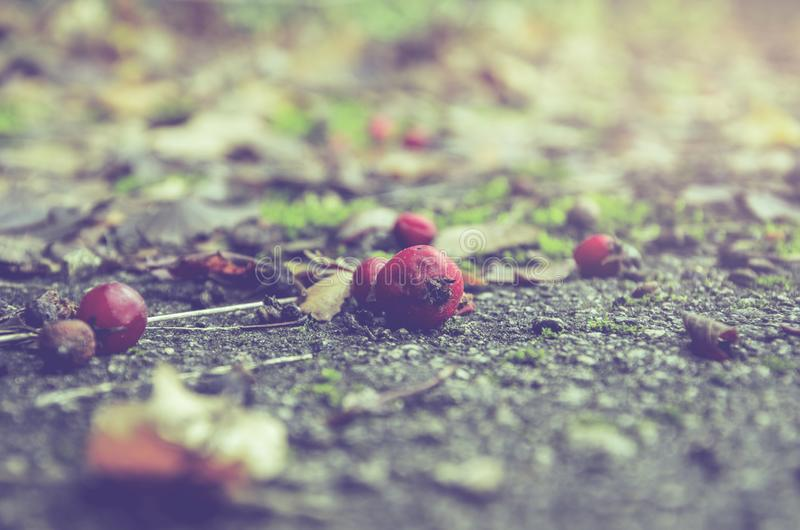 Bayas rojas del espino que ponen en la tierra fotos de archivo