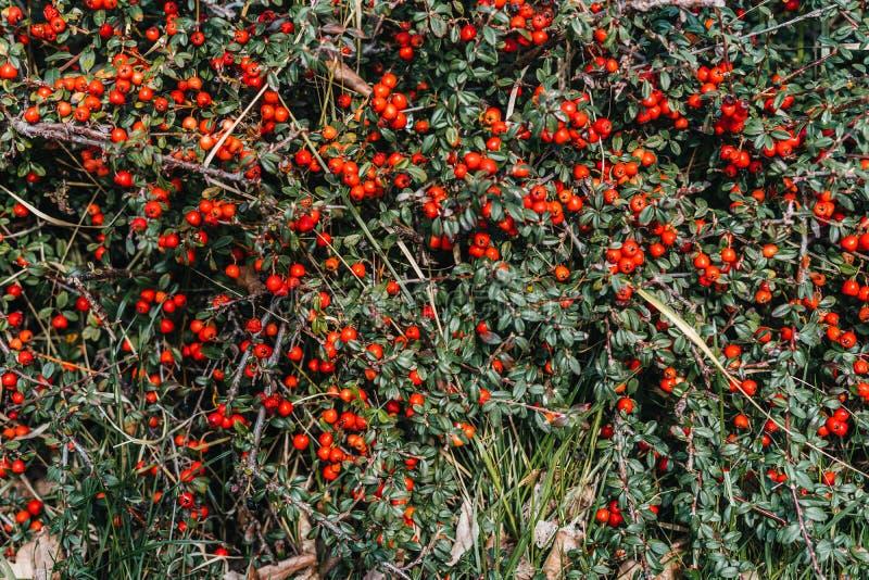 Bayas rojas en arbusto verde foto de archivo