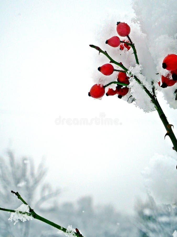 Bayas rojas en casquillos de la nieve imagen de archivo libre de regalías